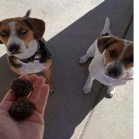 dogs eating no-bake treat