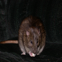 small pet rat eating home-made treat